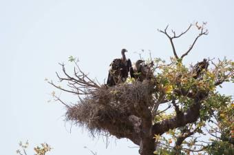 Hoodie near a ruppell's nest.jpg