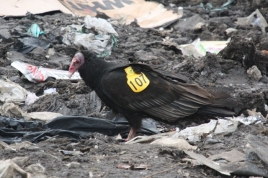 Turkey Vulture (Stanley) 006